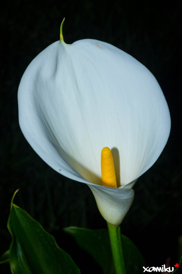 108/365 - Arum Lily